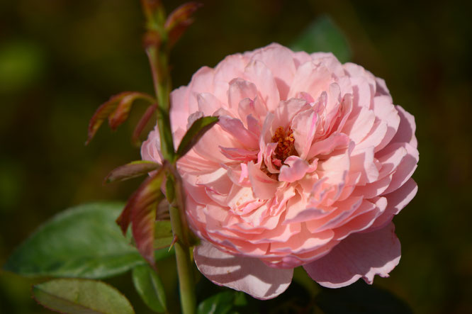 rose, english rose, david austin, amy myers, photography, small sunny garden, desert garden, the alnwick rose