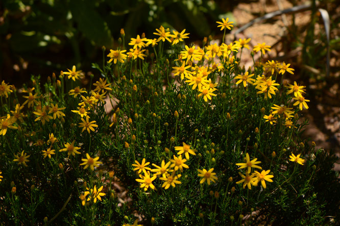 small sunny garden, desert garden, amy myers, photography, garden photography, garden blog, garden bloggers bloom day, gbbd, damianita, chrysactinia, mexicana, soutwest native plant