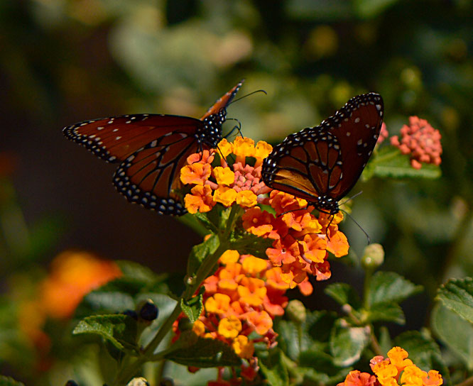 butterfly, queen, amy myers, photography, small sunny garden, desert garden, Danaus gilippus
