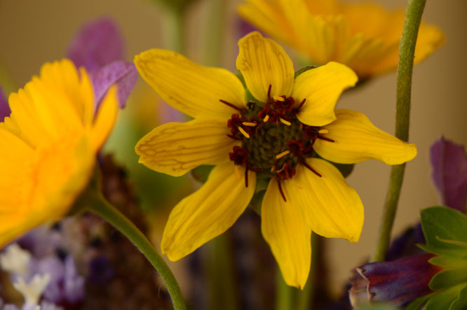 small sunny garden, desert garden, monday vase, in a vase on monday, iavom, photography, amy myers, berlandiera, chocolate flower