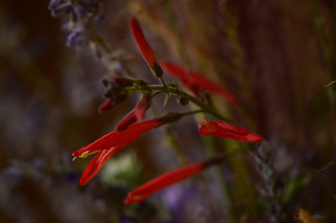 small sunny garden, desert garden, in a vase, monday, amy myers, monday vase, justicia californica, hummingbird plant, chuparosa