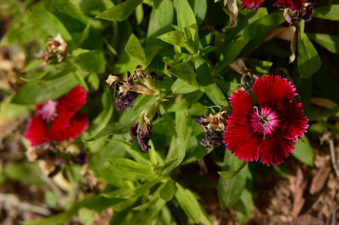 small sunny garden, desert garden, amy myers, photography, gbbd, garden bloggers bloom day, spring, flowers, dianthus