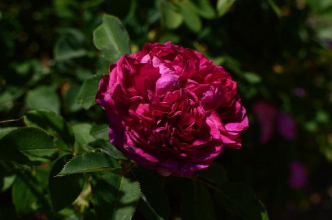 small sunny garden, desert garden, amy myers, photography, garden photography, sonoran desert, tuesday view, rose, english rose, william shakespeare 2000