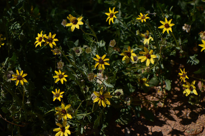 small sunny garden, desert garden, amy myers, photography, garden photography, garden blog, garden bloggers bloom day, gbbd, berlandiera lyrata, chocolate flower, southwest native plant