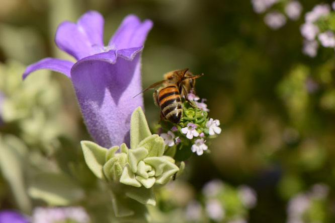 small sunny garden, desert garden, amy myers, photography, garden photography, tuesday view, bee, lemon thyme, eremophila hygrophana