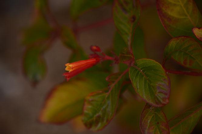 small sunny garden, amy myers, desert garden, photography, garden, arizona, gbbd, garden bloggers bloom day, january, flowers, hamelia, patens, firebush