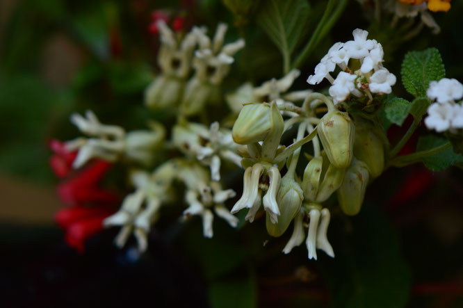 small sunny garden, desert garden, amy myers, in a vase on monday, monday vase, iavom, garden blog, asclepias, subulata, desert milkweed