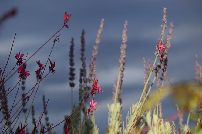 small sunny garden, amy myers, desert garden, photography, garden, arizona, gbbd, garden bloggers bloom day, january, flowers, gaura, oenothera lindheimeri