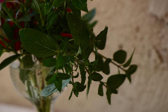 small sunny garden, desert garden, amy myers, photography, garden, blog, in a vase on monday, monday vase, iavom, mint, peppermint