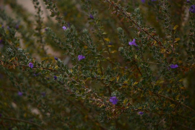 small sunny garden, desert garden, amy myers, photography, garden bloggers bloom day, gbbd, december, winter flowers, leucophyllum, frutescens, texas ranger