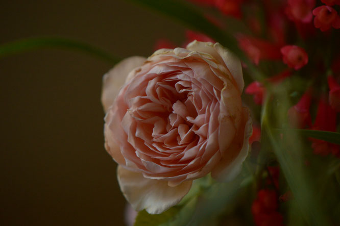 "Rose ""Crown Princess Margareta"", close-up"