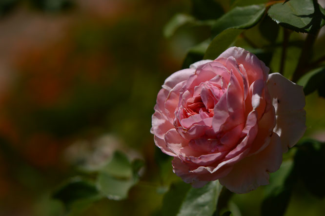 small sunny garden, desert garden, amy myers, photography, garden photography, rose, david austin, james galway