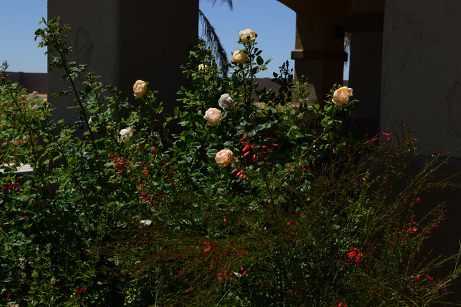 small sunny garden, desert garden, amy myers, photography, garden photography, sonoran desert, tuesday view, rose, english rose, wollerton old hall