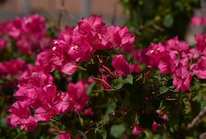 small sunny garden, bougainvillea