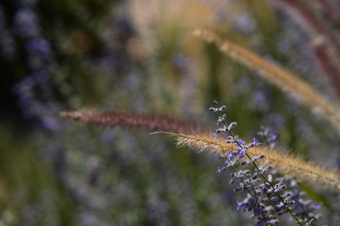 Perovskia and Pennisetum setaceum rubrum
