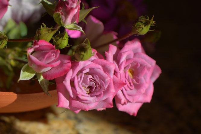 "miniature rose ""Kordes Lavender"""