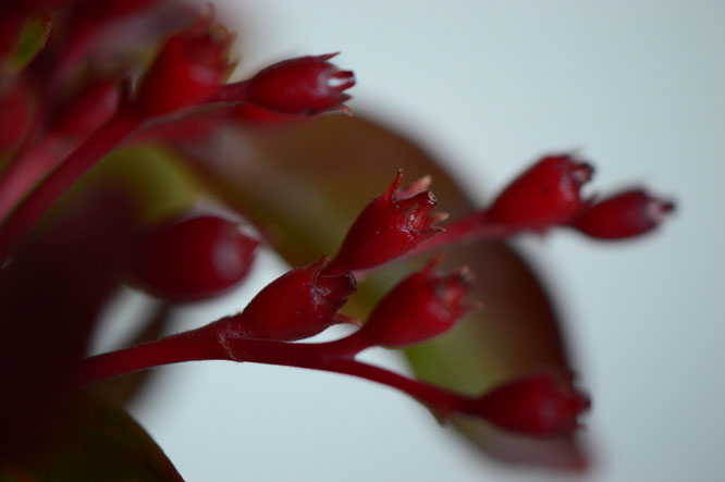 hamelia, firebush, monday vase, in a vase on monday, iavom, amy myers, photography, small sunny garden, desert garden