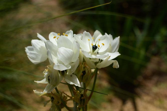 small sunny garden, desert garden, amy myers, photography, garden blog, tuesday view, ornithogalum, arabicum, chinchirenchee