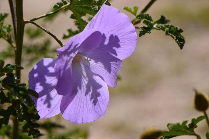 alyogyne huegelii, blue hibiscus, small sunny garden, desert garden, amy myers, photography