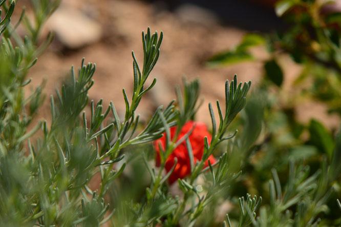 lavender, lavandula, small sunny garden, desert garden, gbfd, garden bloggers foliage day, amy myers, photography
