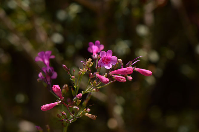 small sunny garden, desert garden, amy myers, photography, south border, tuesday view, words and herbs, penstemon, parryi