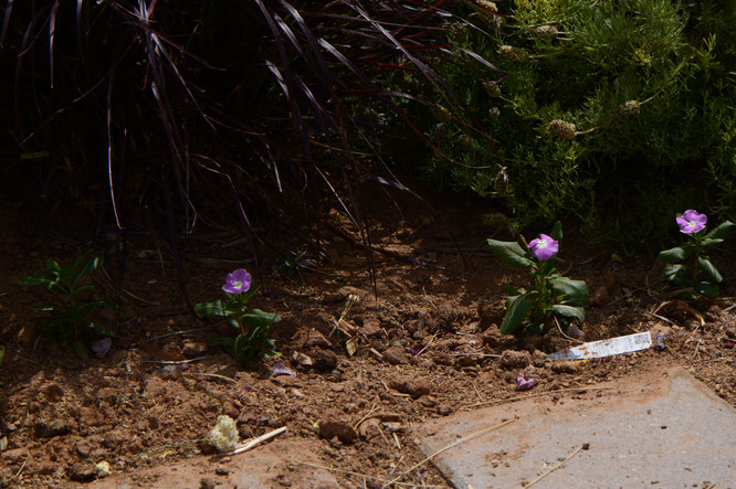 small sunny garden, desert garden, amy myers, photography, spring, summer, flowers, bloom, tuesday view