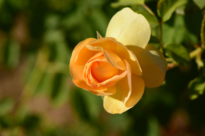 small sunny garden, desert garden, amy myers, photography, garden photography, sonoran desert, tuesday view, rose, david austin, graham thomas