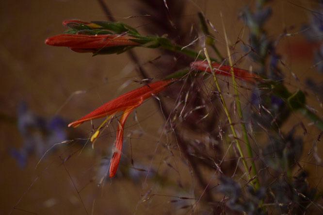 small sunny garden, desert garden, in a vase, monday, amy myers, monday vase, chuparosa, justicia californica, hummingbird plant