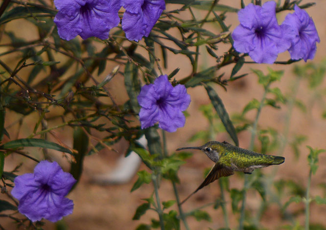 hummingbird, anna's, photography, small sunny garden, amy myers, desert garden, garden bloggers bloom day