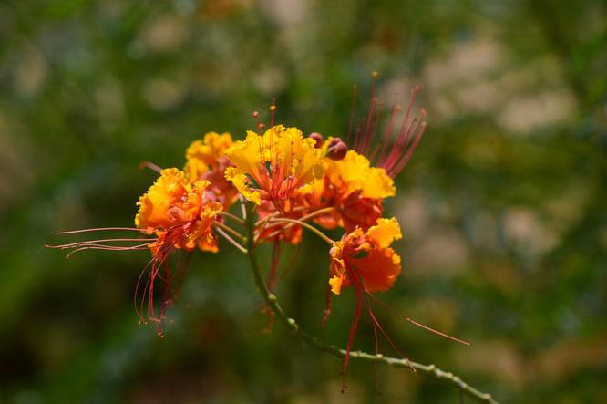 small sunny garden, caesalpinia, pulcherrima, red bird of paradise