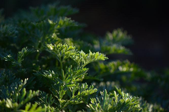 artemisia, powis castle, garden bloggers foliage day, small sunny garden, desert garden, amy myers. photography