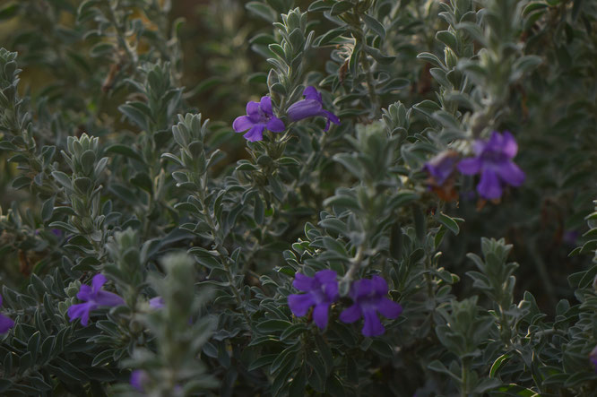 small sunny garden, amy myers, desert garden, photography, garden, arizona, gbbd, garden bloggers bloom day, january, flowers, eremophila,hygrophana