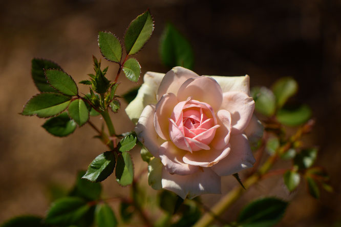 tuesday view, small sunny garden, desert garden, amy myers, photography, miniature rose