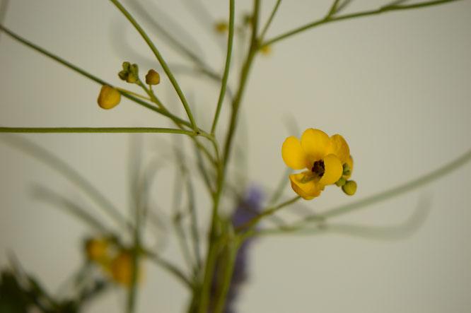 in a vase on monday, monday vase, desert garden, small sunny garden, amy myers, photographer, photography, senna, nemophila
