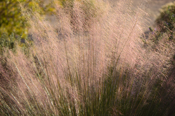 small sunny garden, desert garden, amy myers, garden bloggers bloom day, gbbd, november, photography, muhlenbergia, regal mist, muhly grass