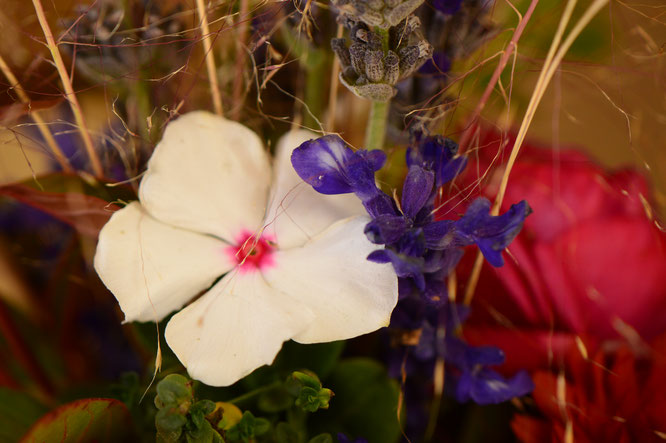 small sunny garden, desert garden, in a vase, monday, amy myers, photography, cathranthus, salvia