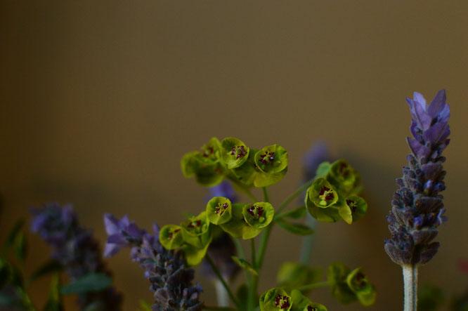 small sunny garden, desert garden, amy myers, photography, in a vase on monday, iavom, monday vase, euphorbia, ascot rainbow, lavandula dentata