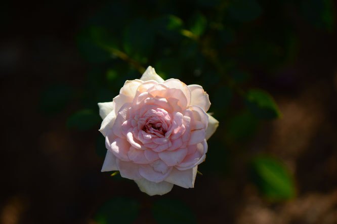 small sunny garden, desert garden, amy myers, tuesday view, autumn bloom, miniature rose