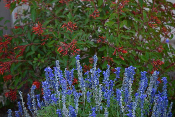 small sunny garden, desert garden, amy myers, garden bloggers bloom day, gbbd