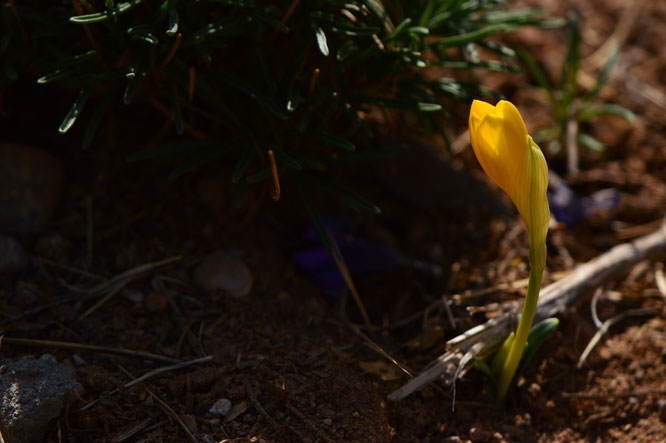 autumn, sternbergia, small sunny garden, desert garden, amy myers, photography