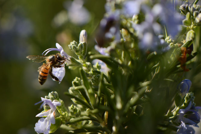 desert garden, small sunny garden, tuesday view, amy myers, photography, rosemary, bee