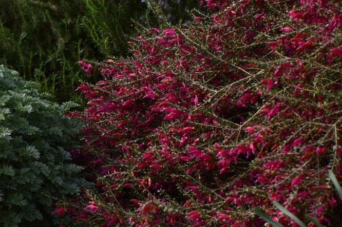 small sunny garden, desert garden, amy myers, photography, gbbd, garden bloggers bloom day, spring, flowers, eremophila, valentine, maculata, emu bush