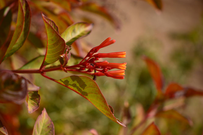 small sunny garden, desert garden, amy myers, photography, garden bloggers bloom day, gbbd, december, winter flowers, hamelia, patens, firebush