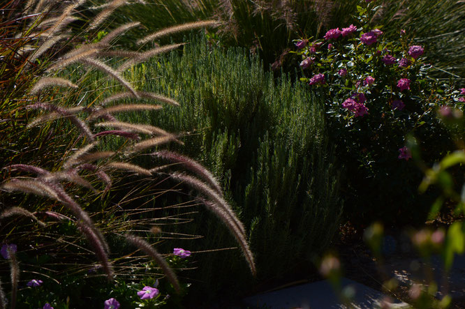 lavender, lavandula, small sunny garden, desert garden, gbfd, garden bloggers foliage day, amy myers, photography, stoechas, madrid