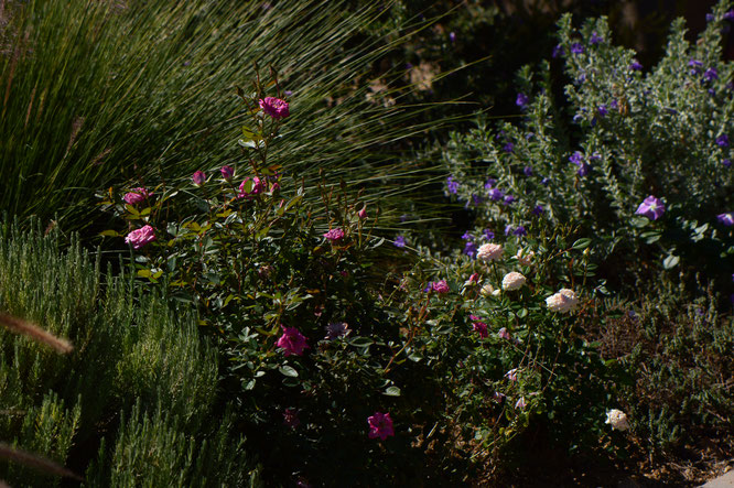 Tuesday view, desert garden, small sunny garden, miniature roses, amy myers, photography