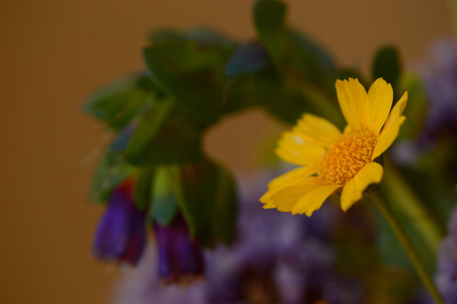 small sunny garden, desert garden, amy myers, photography, garden photography, in a vase on monday, iavom, monday vase, tetraneuris acaulis, angelita daisy