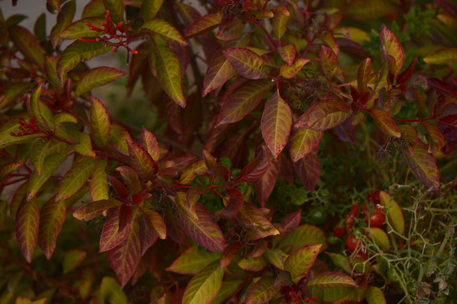 desert garden, small sunny garden, amy myers, photography, autumn, foliage, leaves, hamelia patens, firebush