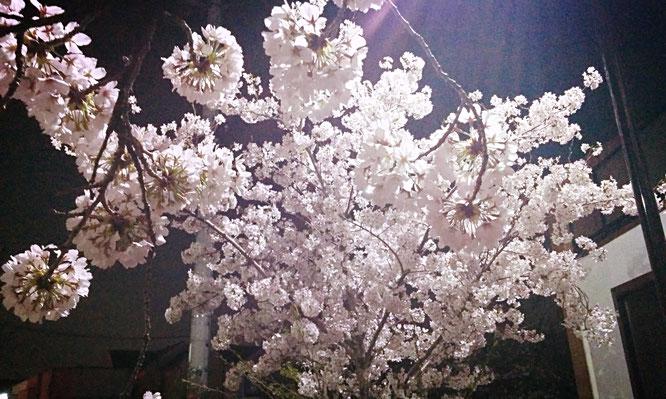 大阪では桜が満開