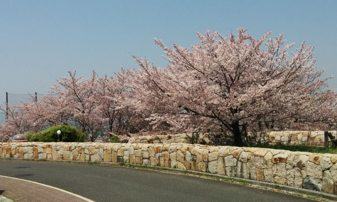 星田西の桜