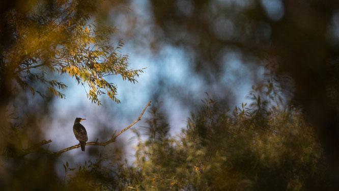Sebastian Vogel, vogel-naturfoto, kormoran